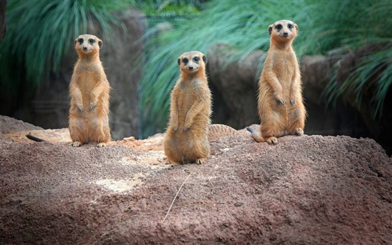 Wallpaper Standing, meerkats, family