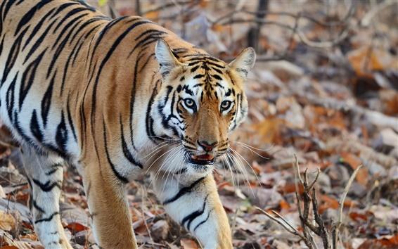 Обои Тигр, хищник, полосы