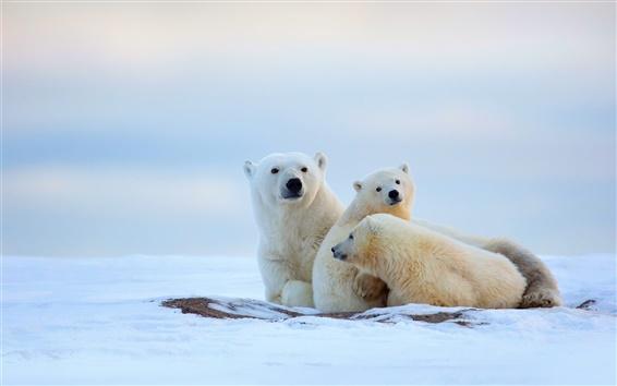 Wallpaper Winter, polar bears, cold, snow