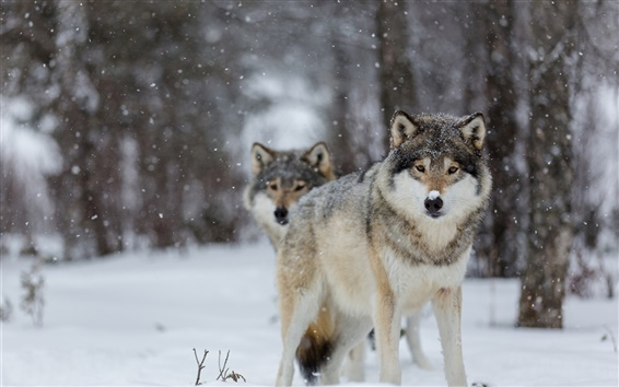 Wallpaper Wolves, eyes, winter, snow, trees, bokeh
