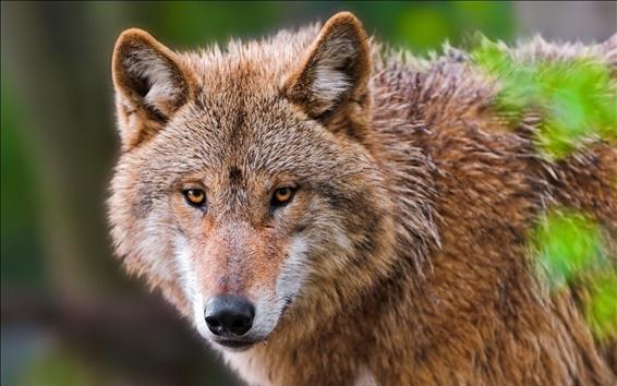 Обои Животное крупным планом, волк портрет