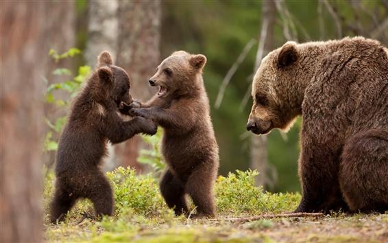 Papéis de Parede Filhotes de urso de jogar o jogo, floresta