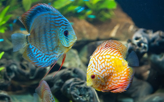 Wallpaper Beautiful fish, underwater, blue and yellow