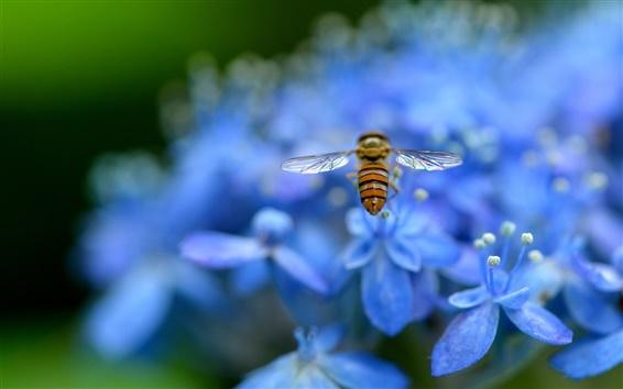 Wallpaper Blue hydrangea, petals, flowers, insect, bee