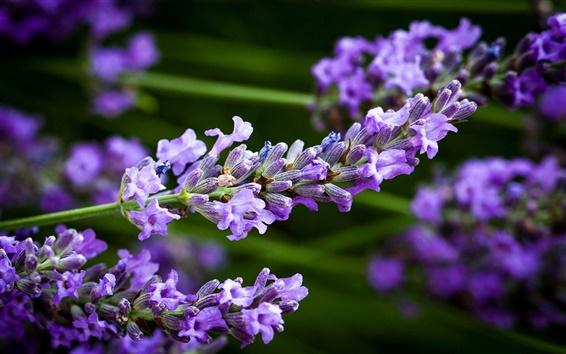 壁紙 ブルーラベンダーの花、ぼかし