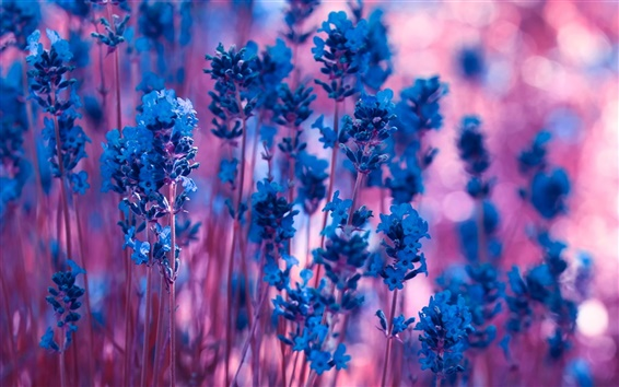 Wallpaper Blue lavender flowers, purple bokeh