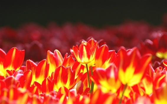 Обои Яркие цветы, желтые красные тюльпаны