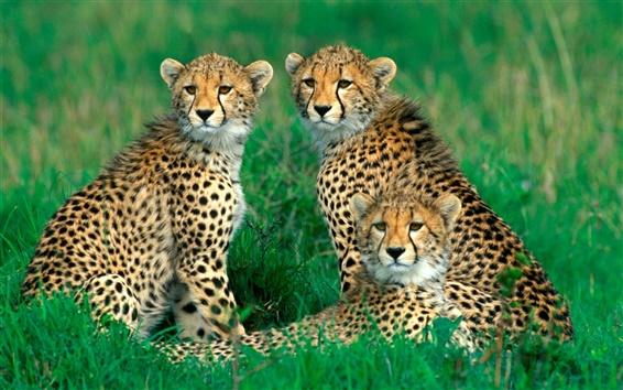 Обои Гепарды, семья, трава, боке