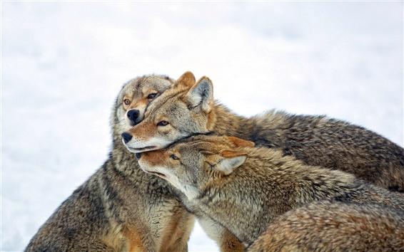 Обои Койот, три волка