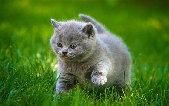 Обои Симпатичные серый котенок, прогулка, трава