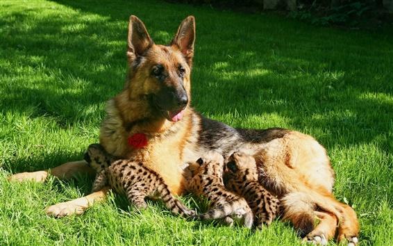 Wallpaper Dog feeding cougar cubs, motherhood, grass