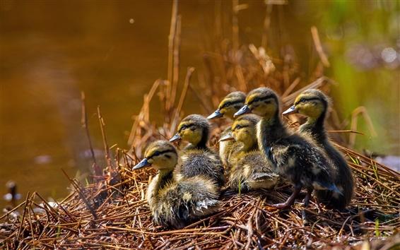 Wallpaper Ducklings, grass