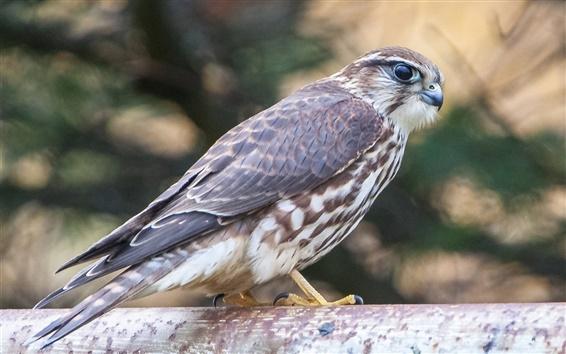 Wallpaper Falcon, bird, predator