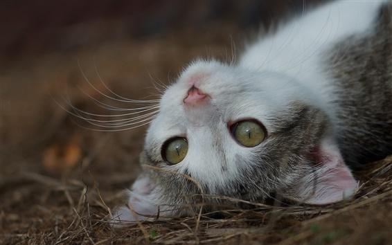 Fond d'écran Kitten envie de dormir, museau, yeux, moustaches