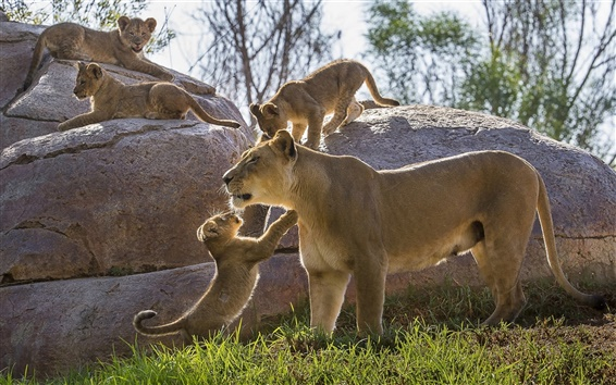 Wallpaper Lioness, cubs, stones