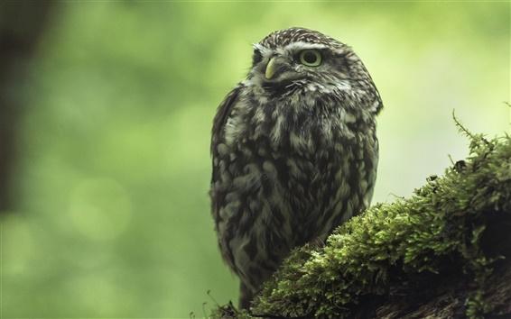 Wallpaper Little owl, moss, bokeh