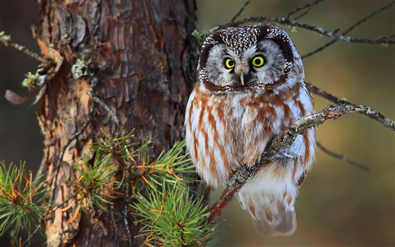 Wallpaper Little owl, tree, branches
