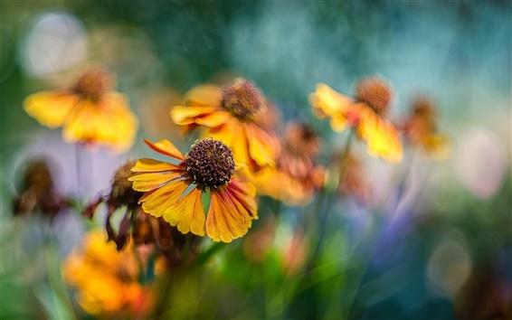 Wallpaper Orange flowers, helenium, bokeh