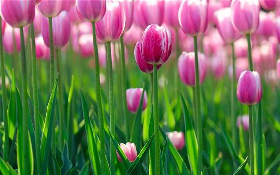 Wallpaper Pink tulip flowers, morning