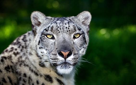 Wallpaper Predator, leopard, face, big cat, bokeh