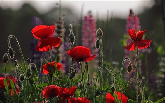 배경 화면 붉은 꽃, 양귀비, 초원, 하늘, 저녁