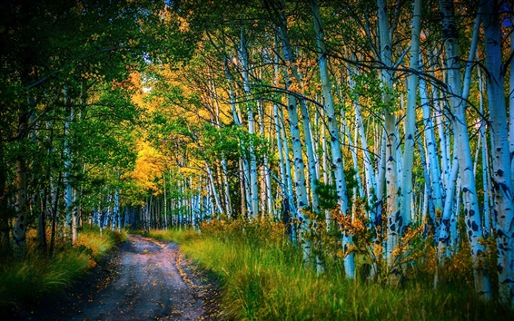 Wallpaper Road, birch grove, trees, autumn