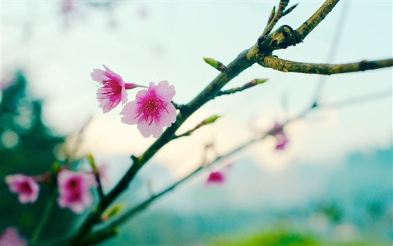 Обои Весна, сакура, цветы, боке