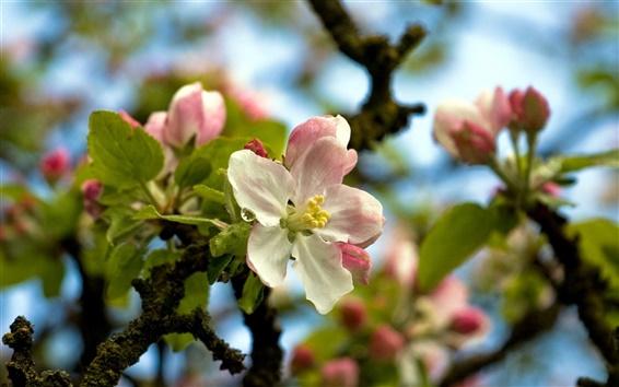 Обои Ветки, белые розовые цветы, дерево, весна
