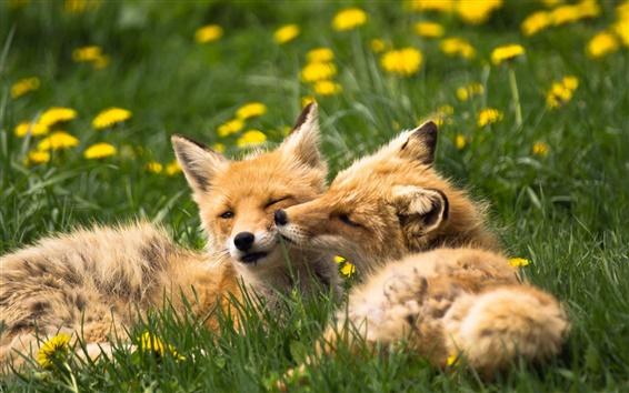 Fond d'écran Deux renards, animaux, herbe, l'été