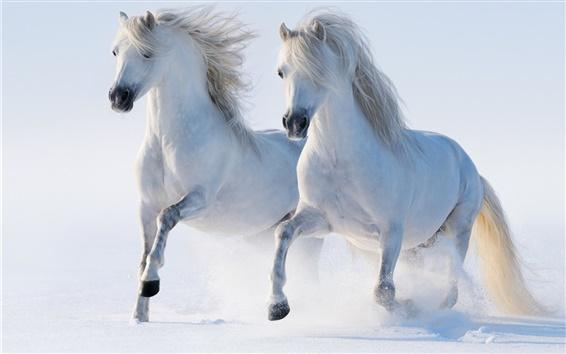 Обои Два белых лошадей, зима, снег