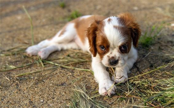 Wallpaper White brown dog, ground