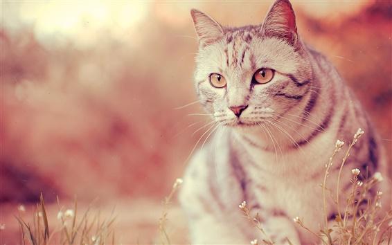 Papéis de Parede Gato branco, olhos, suiças, grama, borrão