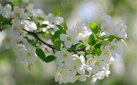 Papéis de Parede Flores de cerejeira brancas flor