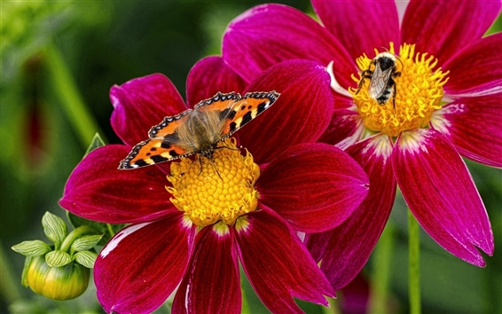Wallpaper Butterfly, bee, insects, purple flowers, dahlia
