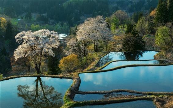 Обои Китай красивые пейзажи, рисовом поле, вода, деревья, утро
