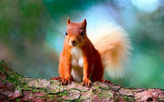 Papéis de Parede Esquilo bonito, marrom, árvore, bokeh