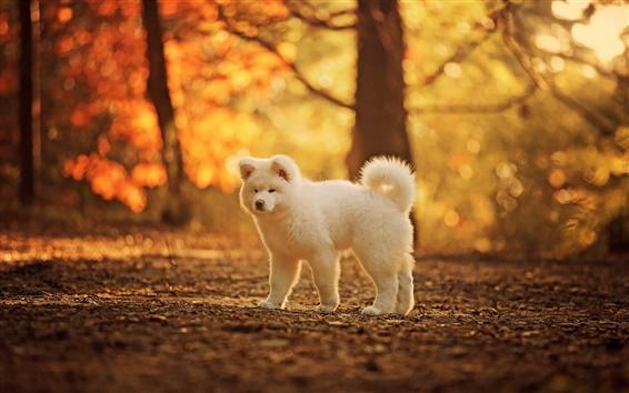 壁紙 かわいい白い犬、秋、木