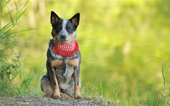Wallpaper Dog, scarf, bokeh