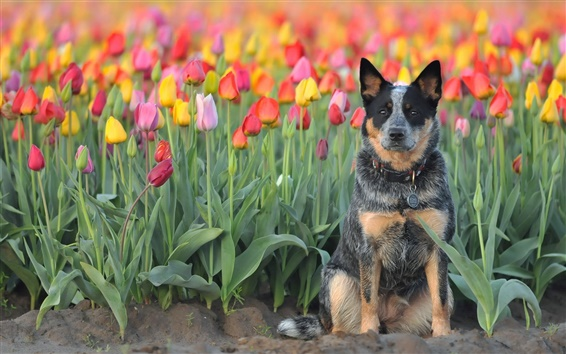 Wallpaper Dog, tulips