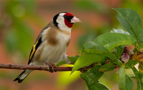 Wallpaper Goldfinch, bird, branches, leaves