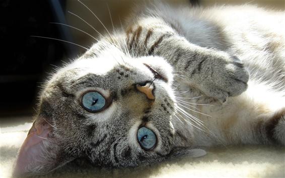 Fond d'écran Gris chat couché au sol, le visage, les yeux, moustaches