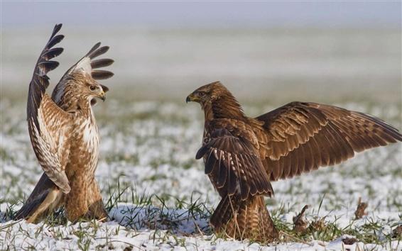 Обои Hawk, птицы, крылья, танцы