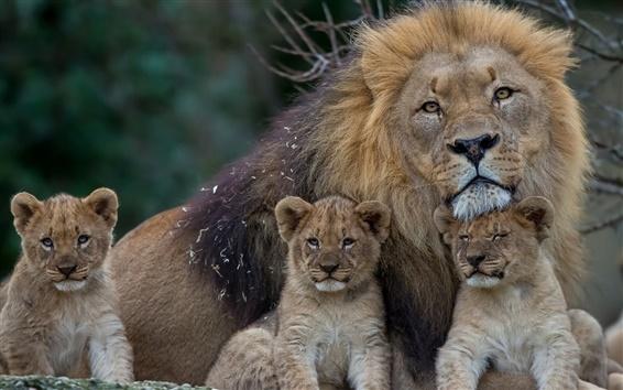 Papéis de Parede Leão com filhotes de leão