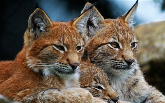 Wallpaper Lynx, wild cat, family