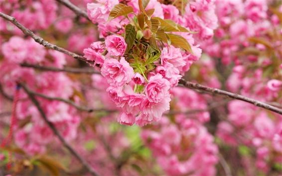 Обои Розовые цветы вишни, ветви, цветение