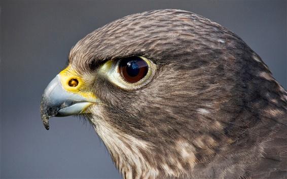 Papéis de Parede Predador, pássaro, falcão, cabeça, olhos