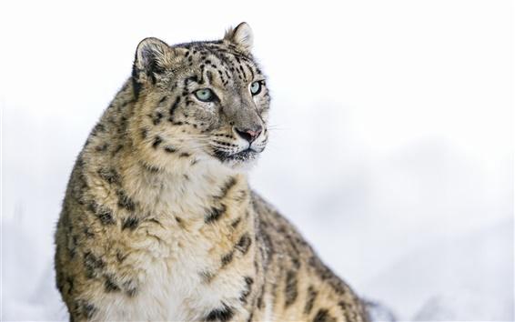 Wallpaper Snow leopard, big cat