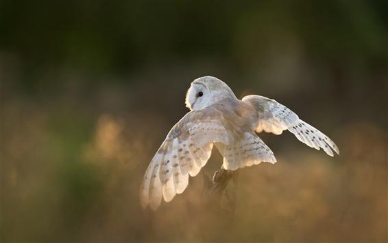 Papéis de Parede Pássaro branco, coruja, asas