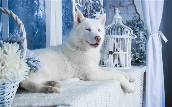 Wallpaper White husky dog