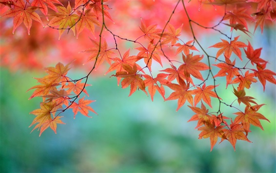 Wallpaper Beautiful red maple leaves, twigs, Japanese